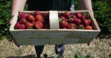 Erdbeeren naschen